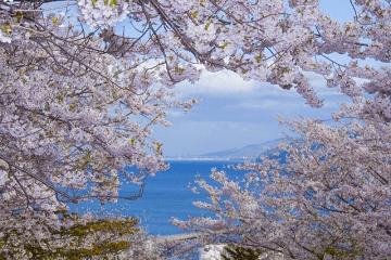 桜の花と海