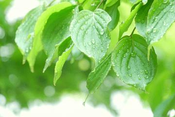 雨にぬれる緑の葉