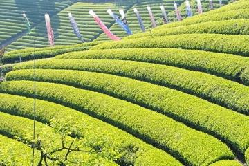 茶畑と鯉のぼり