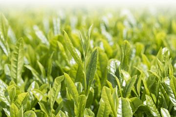 茶畑の新茶