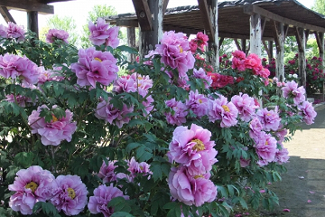 咲き並ぶ紫と赤の牡丹の花