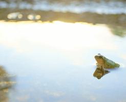 水面から体を出している蛙