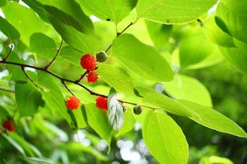 桑の赤い実