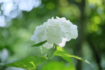 白い紫陽花の花