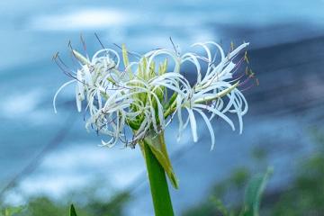 浜木綿の花