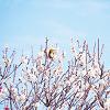 鶯と白い梅の花