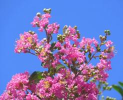 百日紅の花と青空