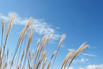 風になびく薄の穂と秋空