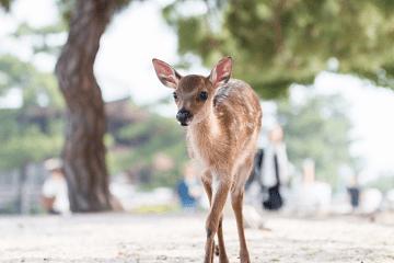 こちらに向かって歩いてくる小鹿