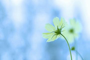 白いコスモスの花