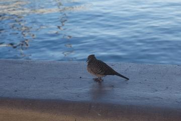 水辺を歩いている鳥