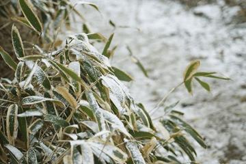 熊笹に降りかかった雪