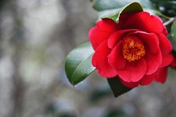真っ赤な椿の花