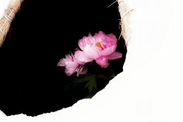 雪の中の寒牡丹の花