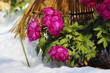 藁囲いの中の寒牡丹の花