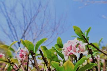 沈丁花の花と青空