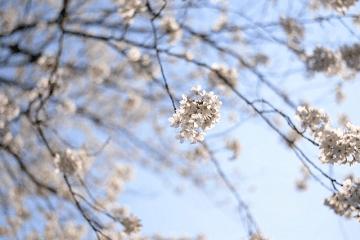 風に揺れる白い桜の花
