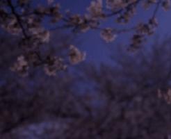 朧夜の桜の花
