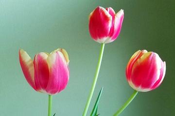 三つのチューリップの花