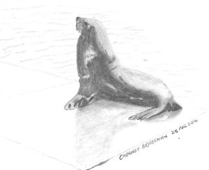 Cape Fur Seal, Kalk Bay Harbour. (Copyright © 2014 by Chesney Bradshaw, all rights reserved)