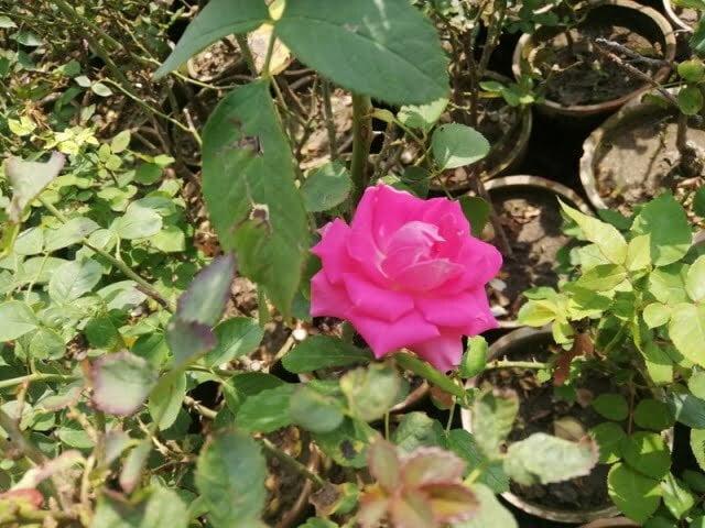 beautiful rose pink rose meaning