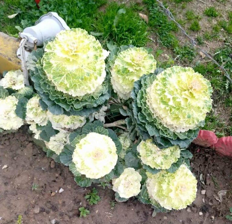 Brassica oleracea plant flower