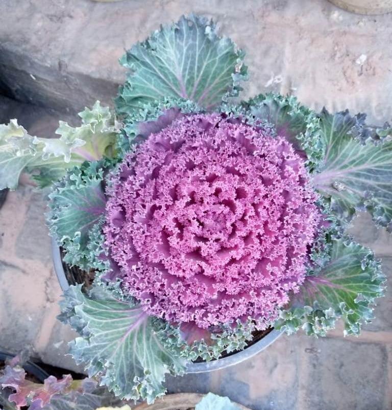 Brassica oleracea plant