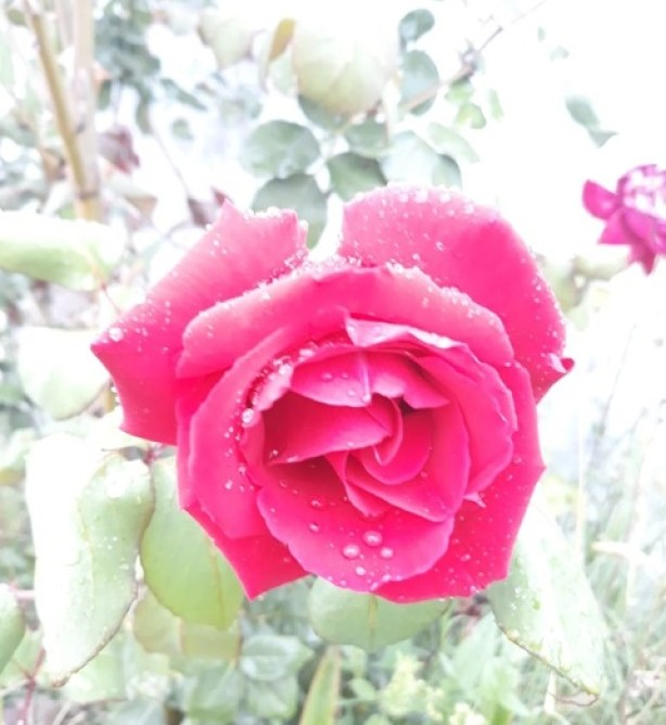 most beautiful rose flower in the world