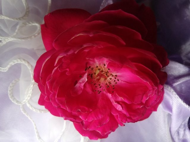 world beautiful rose