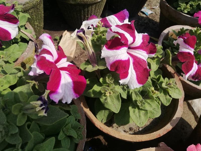 Pink Whit Petunia