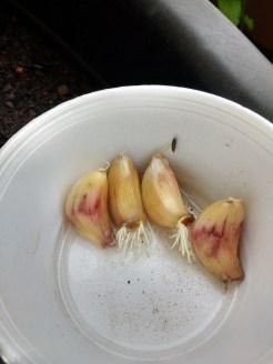 Dentes de alho germinando