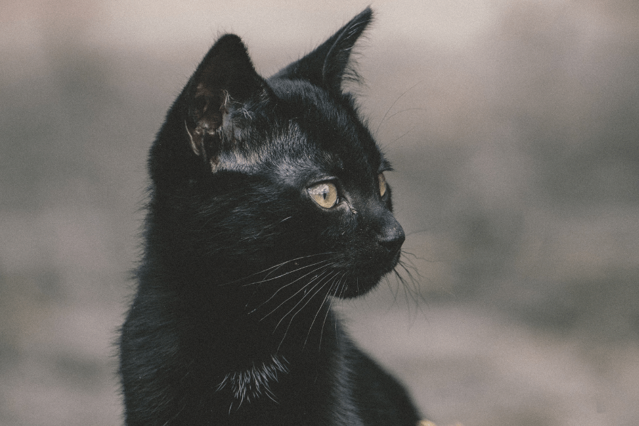 250 Best Black Cat Names That Are Just Plain Brilliant Ideas For Names