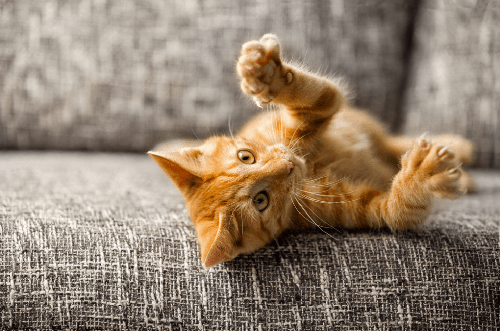 Outstanding Orange Cat Names Perfect For Your Ginger Kitty, best name ideas for orange cats #cat #cats #catlover #catlovers #orangecat #gingercat #orangetabby #orangetabbycat