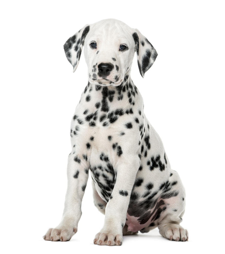 Best Black And White Dog Names For Your Two Tone Pup, Dalmatian