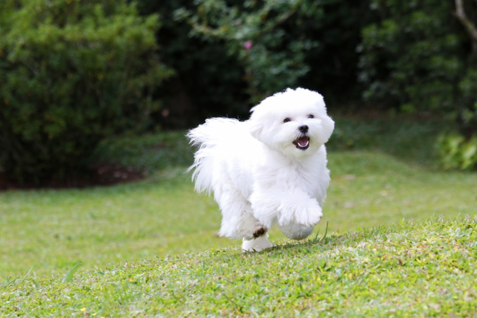 Wonderful White Dog Names, Cute and Unique White Puppy Names, While Dog running