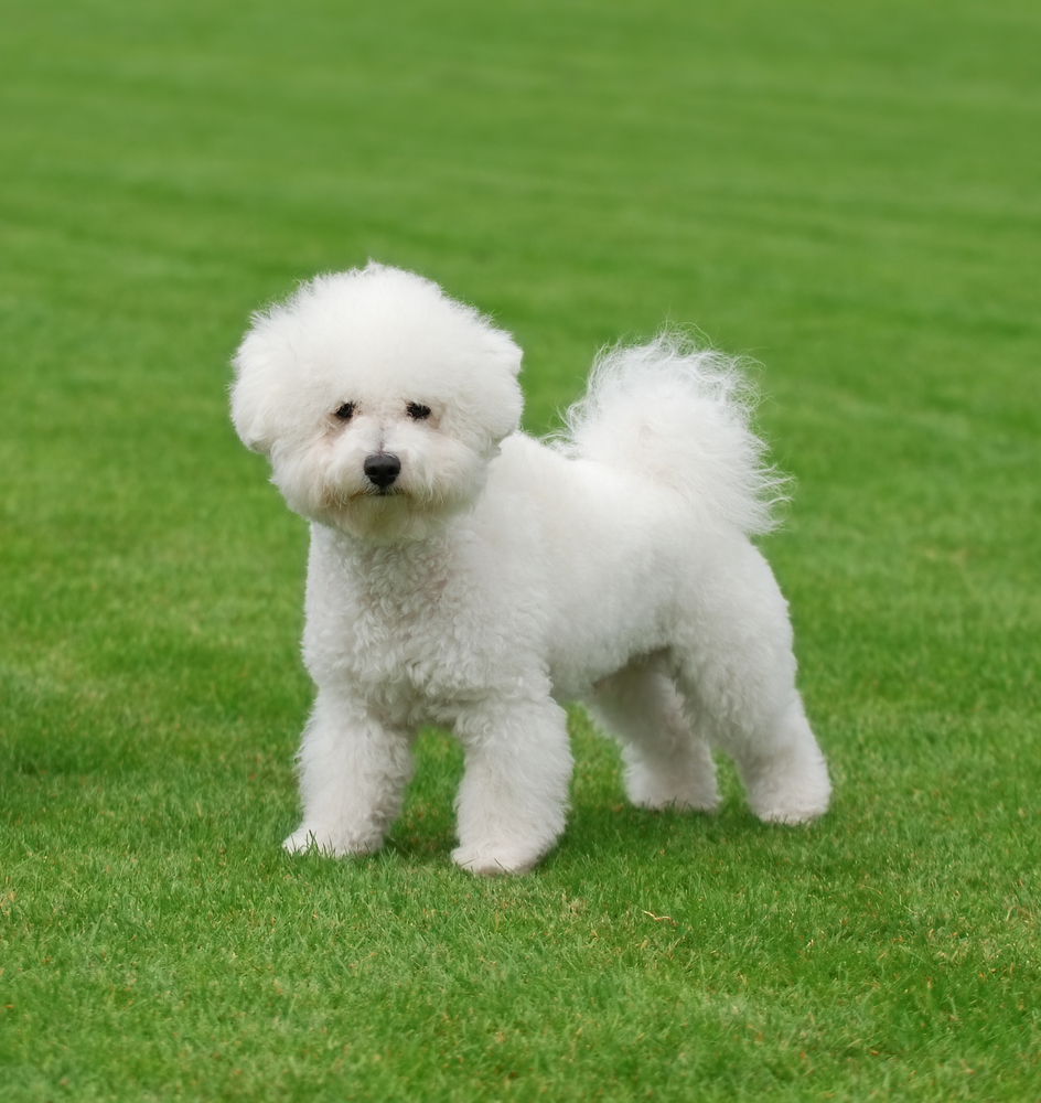 Wonderful White Dog Names, Cute and Unique White Puppy Names, white poodle or bichon