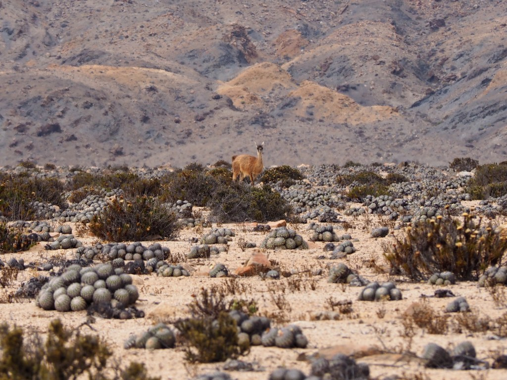 a guanaco surrounded by cacti in Pan de Azúcar National Park