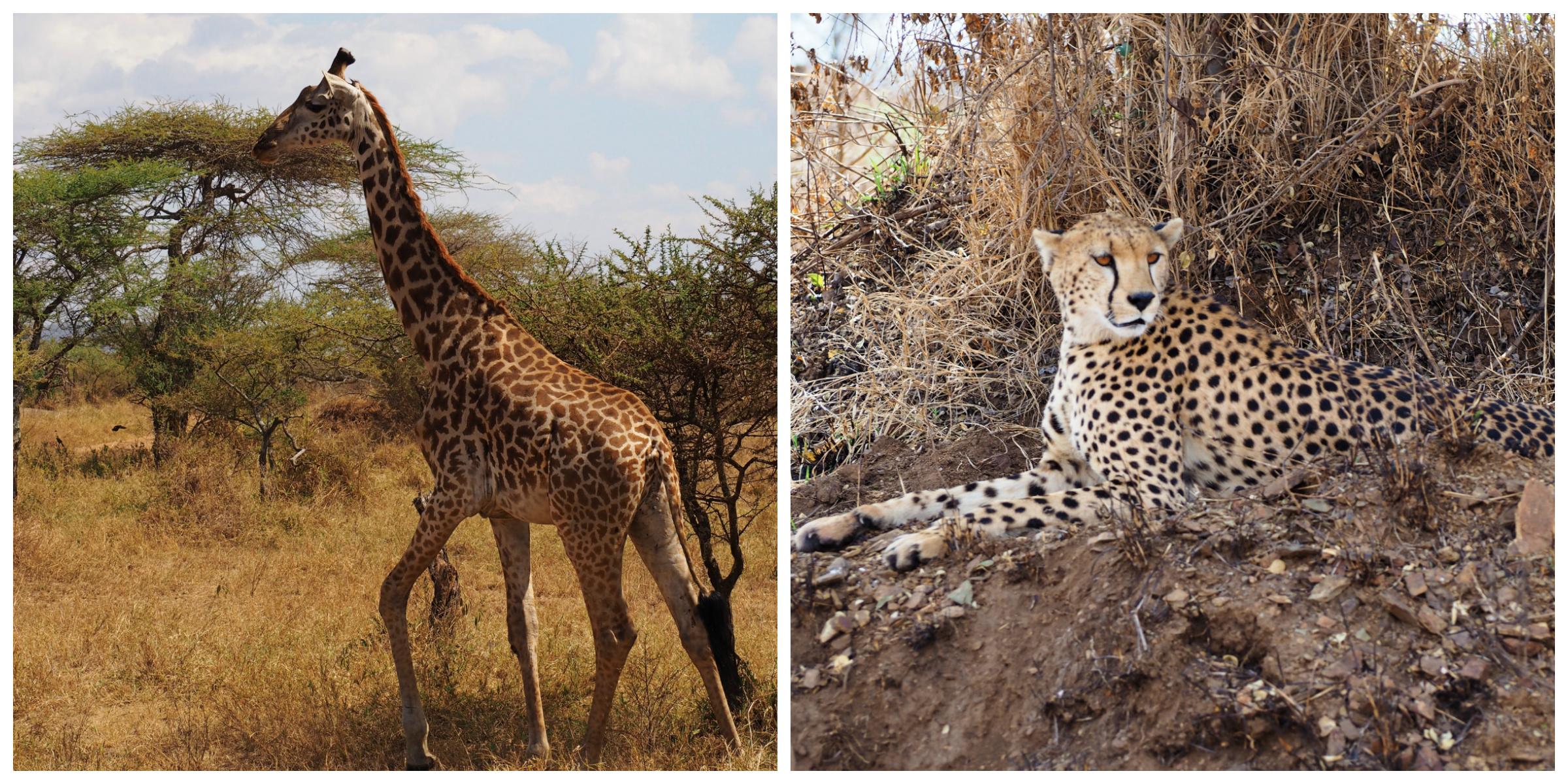 Giraffe | Cheetah