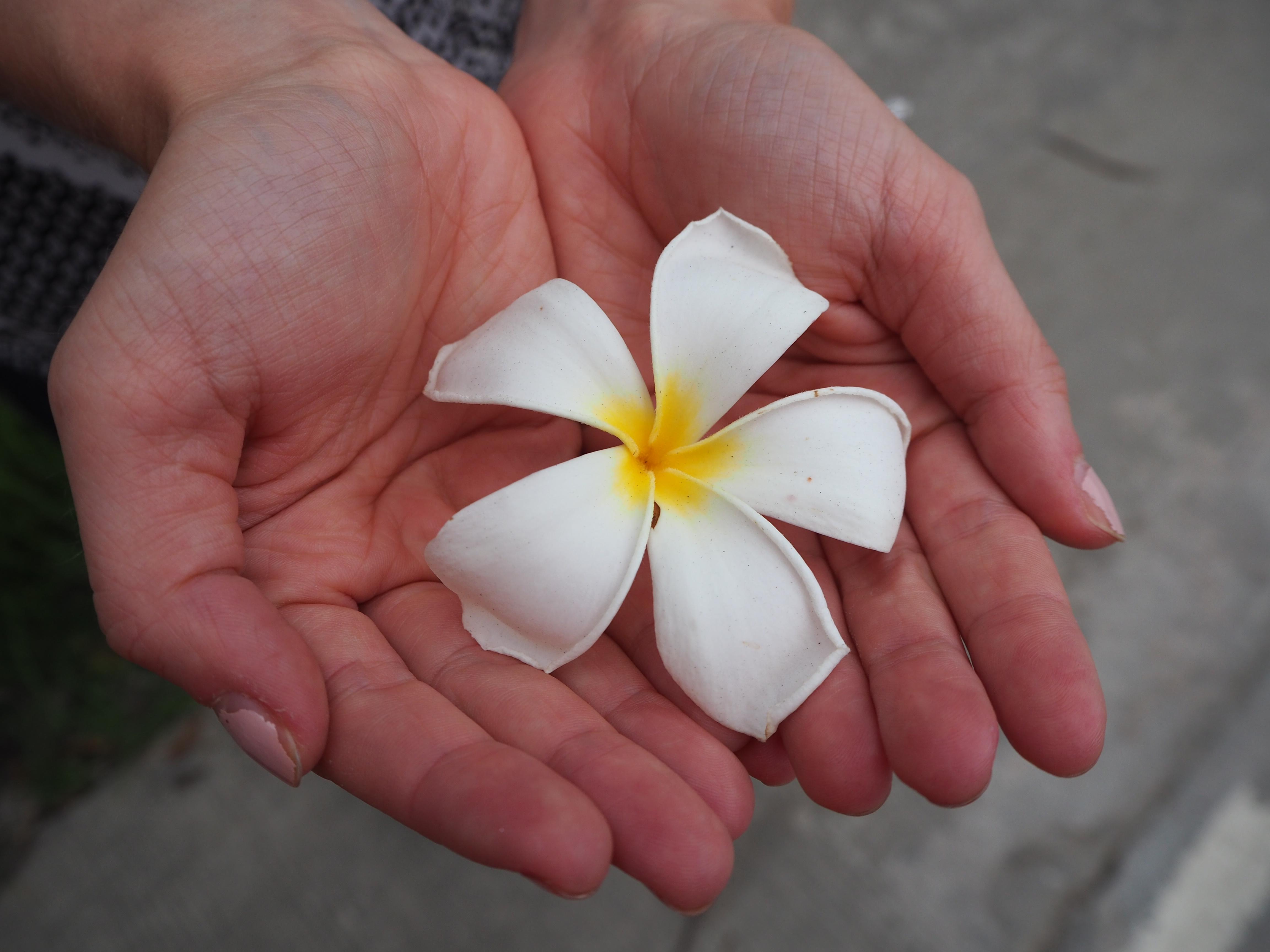Plumeria flower - found all over Thailand