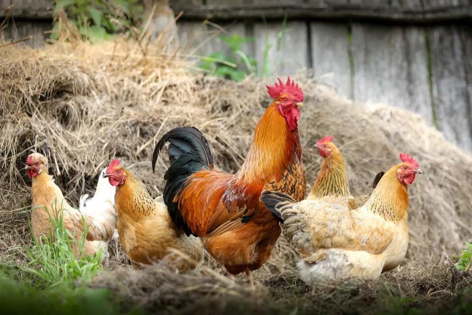 Dying chicken