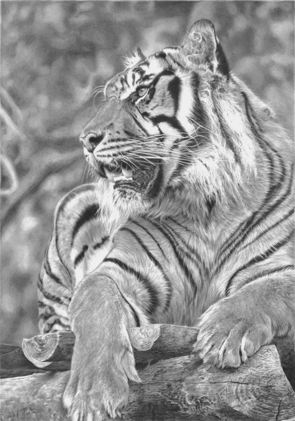 10 Cool Tiger Drawings For Inspiration 2017