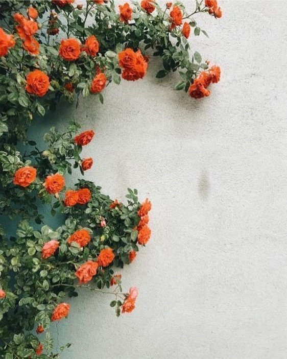 Climbing coral roses on the wall