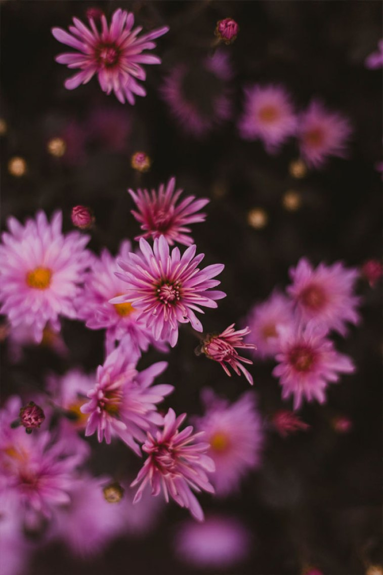 45 Beautiful flower iphone wallpaper ideas , wild pink daisy iphone wallpaper iphone wallpaper, iphone xs, iphone 7s, iphone 8s #wallpaper