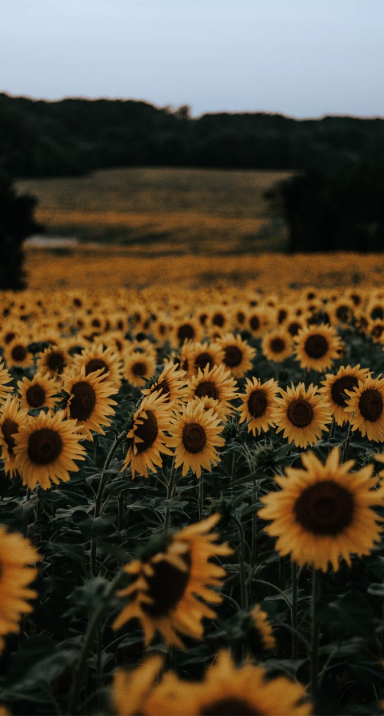 Beautiful Field Of Sunflowers Idea Wallpapers Iphone Wallpapers