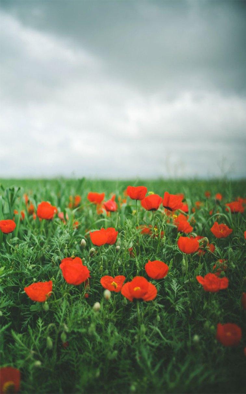 Amazing field of poppies wild flowers, Beautiful Poppy Field - Beautiful iPhone wallpaper , iphone background, summer ,flower
