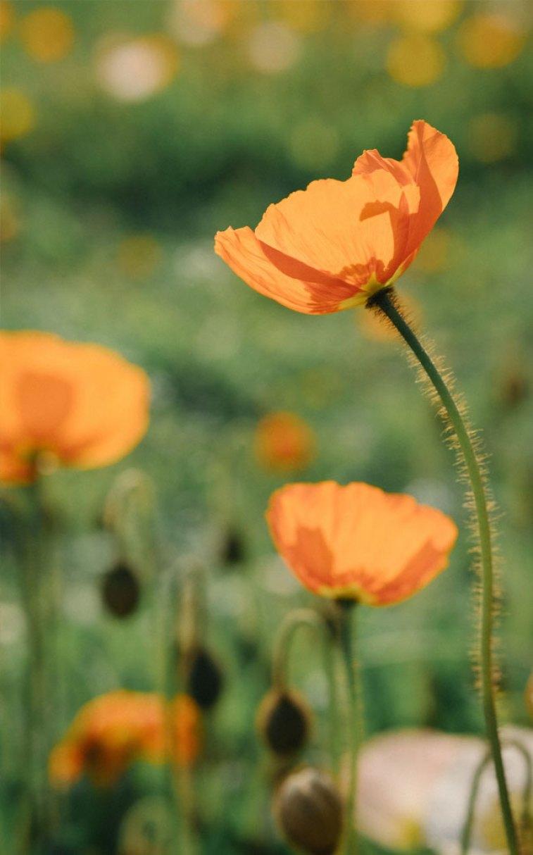 Beautiful Orange Poppy Field - Beautiful iPhone wallpaper , iphone background, summer ,flower