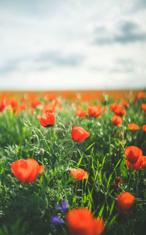 Beautiful Poppy Field - Beautiful iPhone wallpaper , iphone background, summer ,flower
