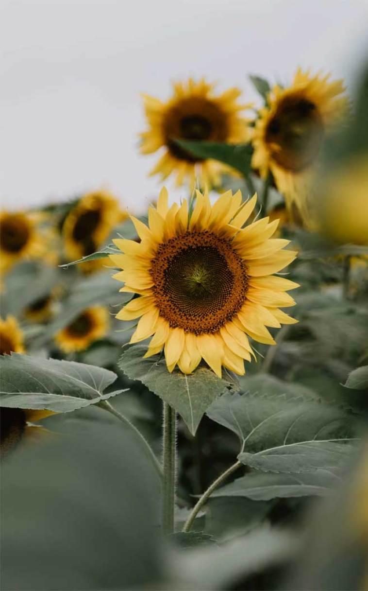 Sunflowers #wallpaper #flowers #summer