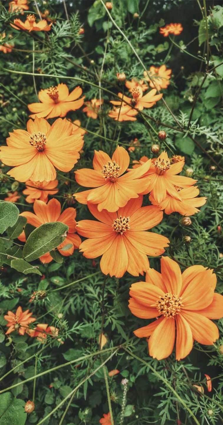 marigold wild daisies - summer flowers #daisies #flowers #summer