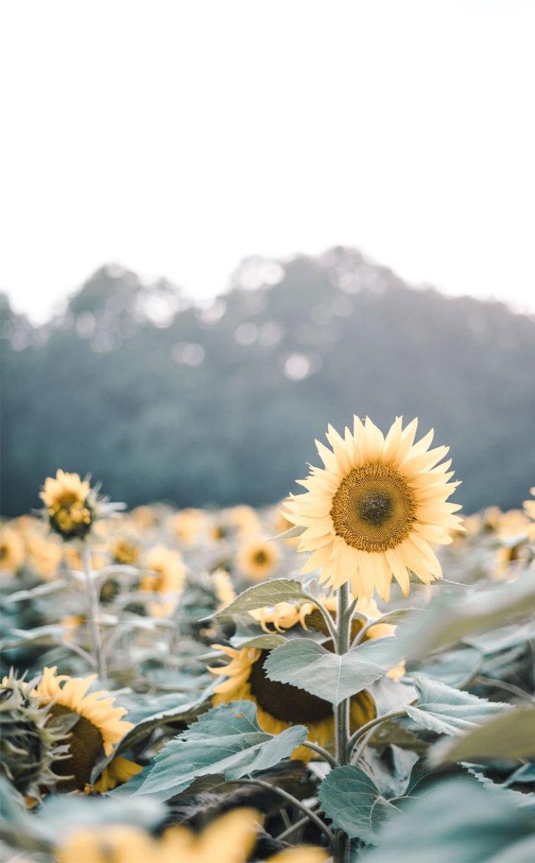 Beautiful sunflowers - sunflowers #summer #flowers